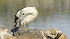 Australian Pelican Grooming Stock Footage