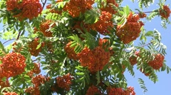 Red ashberry sways in the wind Stock Footage