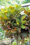 CODIAEUM. Croton. Evergreen shrub with stiff leaves. Stock Photos