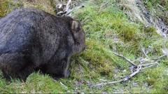 Australian Wombat grazing. Stock Footage