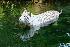 White tiger swimming in river Stock Photos