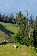 Horses grazing in Himalayas mountains. Kullu valley, Himachal Pradesh, India Stock Photos
