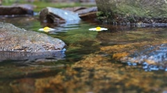 Daisies flowing on the river surface Stock Footage