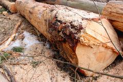 Felled tree in the forest, pine. - stock photo