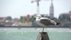 Seagull at pier in Murano in slow motion Stock Footage
