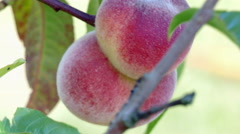 unripe peaches on a tree - stock footage