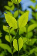Sunny Ash Tree Sheet - stock photo