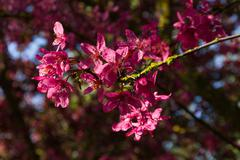 Detail of tree blossoms Cherry plum Stock Photos