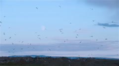 Arctic Tern kria flock birds swarming in front of rising moon rocks Iceland Stock Footage