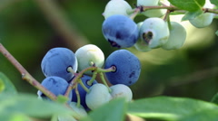 A branch with unripe and ripe blueberries Stock Footage