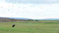 Arctic Tern kria birds swarming attacking tourist, defending nests, Iceland Stock Footage