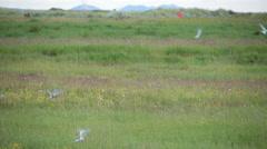 Arctic Tern kria flock birds swarming joggers in summer Reykjavik Iceland Stock Footage