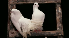 Pigeons Rest Stock Footage