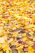 Colorful Autumn Leaf Season in Japan - stock photo