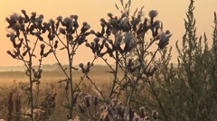Thistles Stock Footage