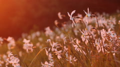 Blooming daffodil in the mountains with saturated sunset light - stock footage