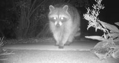 Raccoon Caught On Camera Trap - stock photo