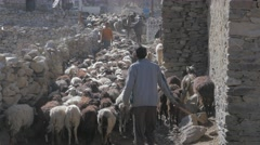 Herd of goats and sheep going to the fields in the morning,Nako,Kinnaur,India Stock Footage