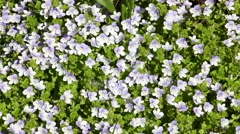 Camera move over the carpet of white-blue flowers of Veronica Stock Footage