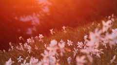 Blooming daffodil in the mountains with saturated sunset light Stock Footage