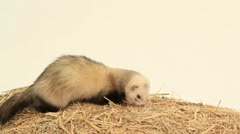 Ferret Looking Around Arkistovideo