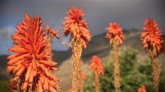 Red aloe plants in afternnoon light. - stock footage