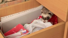 Ferret In A Drawer Arkistovideo