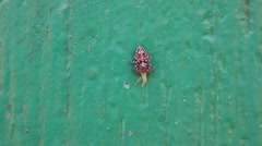 The jumping spider(Salticidae) sitting on the wall and eats the insect Stock Footage