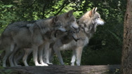 Stock Video Footage of Four Gray Wolves in Pack 2