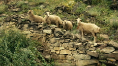 Sheep in the mountains. Stock Footage