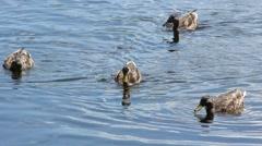 Four Ducks Feeding Stock Footage