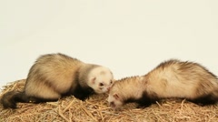 Two Ferrets Eating On A Haystack Arkistovideo