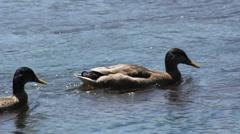 Ducks Swim By Stock Footage