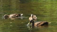 Three Ducks Feeding Close Up Stock Footage