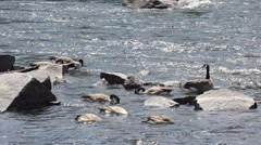 Geese Feeding by Rocks on River Stock Footage
