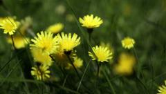 Yellow dandelion in the grass - stock footage
