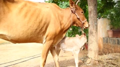 Mother Cow Love on young calf Stock Footage