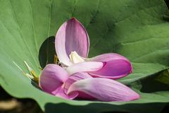 Fallen petals of lotus on a green leaf Stock Photos