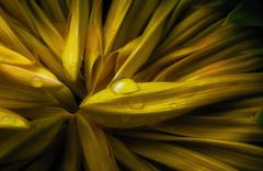 rainwater on a closed sunflower - stock photo