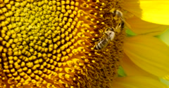 Bee Collects Pollen In The Sunflower 4k Stock Footage