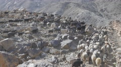 Herd of goats and sheep in himalaya mountains,Nako,Kinnaur,India Stock Footage