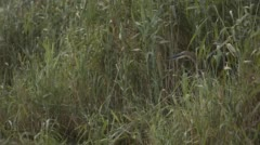 Two clip combo of a Goliath Heron sitting between reeds Stock Footage