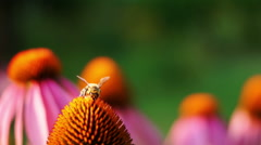 Bee And Purple Coneflower (Echinacea Purpurea) Stock Footage