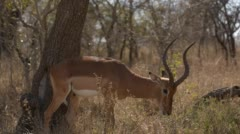 Two clip combo of Impala walking and eating Stock Footage