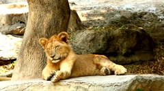 Young lion in chiangmai zoo Stock Footage