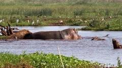 Hippopotamus in Lake Manyara National Park in Tanzania Stock Footage