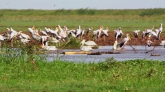 Waterbirds in the Lake Manyara National Park, Tanzania - stock footage