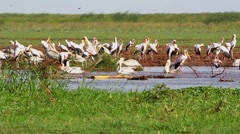 Waterbirds in the Lake Manyara National Park, Tanzania Stock Footage