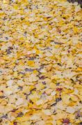 Fallen yellow ginkgo leaves on the floor Stock Photos