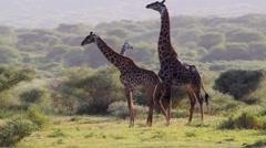 Giraffes preparing to mate in Lake Manyara National Park, Tanzania Stock Footage